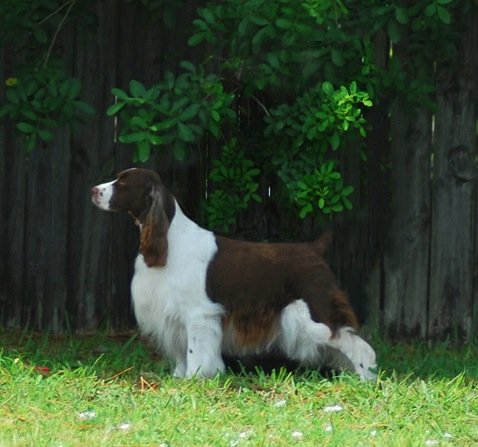 English Springer Spaniel image: Cerise Annie Get Your Gun