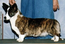 Cardigan Corgi image: Ch Bearwood's Amazing Grace