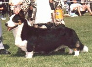 Cardigan Corgi image: Ch Bearwood's Pied Piper Of PV