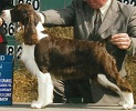English Springer Spaniel image: Ch Cerise Barefoot Contessa