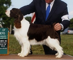 English Springer Spaniel image: Ch Cerise Bedazzled