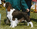 English Springer Spaniel image: Ch Cerise Kiss Me Kate