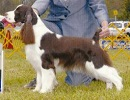 English Springer Spaniel image: Ch Cerise Point Of View