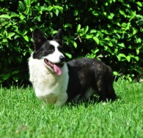 Cardigan Corgi image: Sunkissed Naughty Or Nice