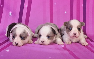 Cardigan Corgi puppies image: The Boys