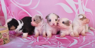 Cardigan Corgi puppies image: The Girls