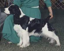 English Springer Spaniel image: Ch Jester's Sunkissed Breeze