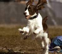 English Springer Spaniel image: Mach 6 Sunkissed Daisy