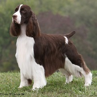 English Springer Spaniel: GCH Paradise Flying Without Wings