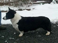 Cardigan Corgi image: Ch Pecan Valley Black Ice