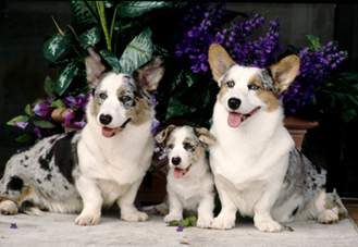 Cardigan Corgis: Storm, Ja Ja and Captain