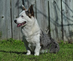 Female Cardigan Welsh Corgi: Pecan Valley Glacial Ice