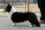 Cardigan Corgi image: Ch Pecan Valley Grand Larceny