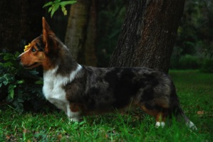 Cardigan Corgi image: Ch Pecan Valley Red White And Blue