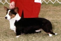Cardigan Corgi image: Ch Pecan Valley Top Hats And Tails