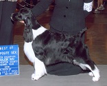English Springer Spaniel image: Ch Sunkissed Best Kept Secret TDI