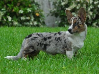 Female Cardigan Welsh Corgi: Ch Sunkissed Blueprints