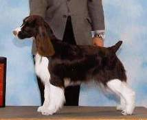 English Springer Spaniel image: Sunkissed Charades