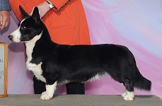 Cardigan Corgi: Sunkissed Cheers To A New Year