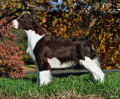 English Springer Spaniel image: Sunkissed I've Got Rhythm
