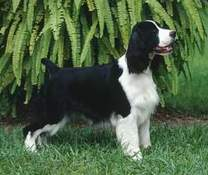 English Springer Spaniel image: Ch  Sunkissed Made In The Shade