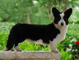 Cardigan Corgi: Ch Sunkissed Nothing But Trouble