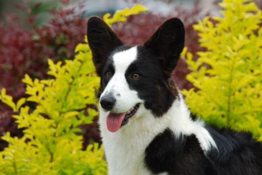 Cardigan Corgi image: Ch Sunkissed Nothing but Trouble