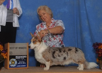 Cardigan Corgi image: Sunkissed Shades Of