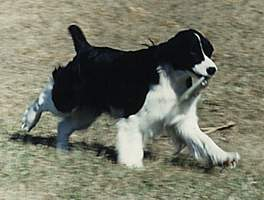 English Springer Spaniel image: Ch Sunkissed Something Special NA NAJ
