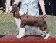English Springer Spaniel image: Ch Sunkissed Tru-Sport Making Waves