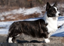 Cardigan Corgi image: MBIS MBISS GCh Ch Twinroc Santa Paws HT PT ROMg